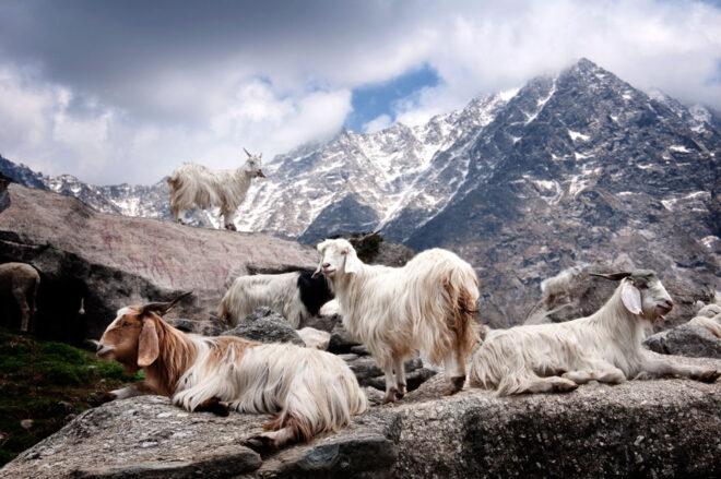 高地に棲むカシミヤ山羊